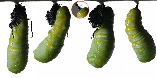 The monarch must attach its new chrysalis form to the silk button
