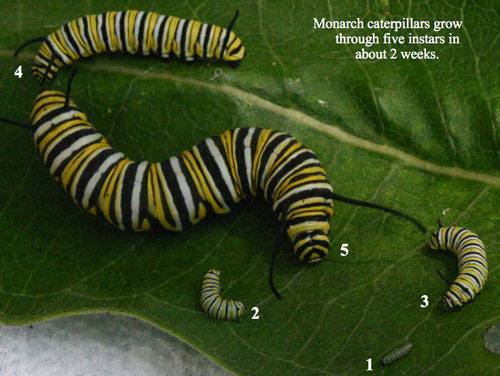 A Visual Journey Through the Monarch Life Cycle : The ...