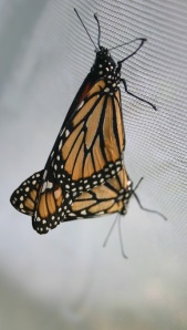 Monarchs Mating in My Screen Tent