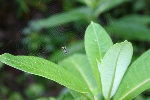 spider in the milkweed